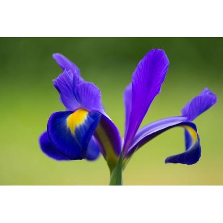 Aroma Ambiental Neutro IRIS